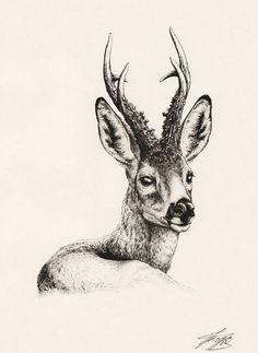 European Roe Deer by ~Tragelaphus on deviantART