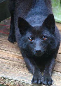 Skittles ~ by Linda Costello Hinchey.  Schipperke & Australian Kelpie mix, a rescue dog <3