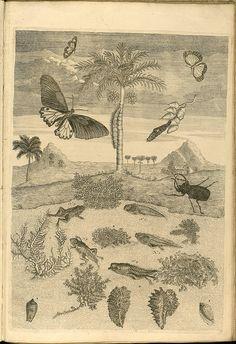 Metamorphosibus Insectorum Surinamensium (p154) | Flickr - Photo Sharing!