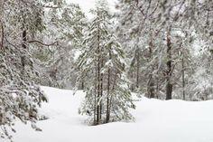 Unge furutrær med snø
