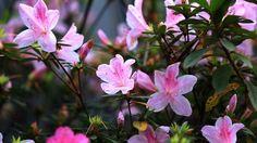 Formadas sempre no inverno, as flores coloridas desse arbusto nativo da China se tornaram um símbolo da cidade de São Paulo. Marcelo Marthe mostra os cuidados essenciais com o solo, as regas e as condições de luz para ter sucesso com essa planta rústica.