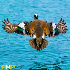 American Wigeon Duck Landing  - All of my photos/designs look MUCH better when viewed Large on my flickr site. Please check out my photo-stream at - http://www.flickr.com/photos/sizzler68/ - © Rodney Hickey Photography 2014