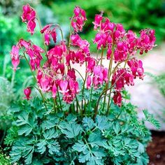 King of Hearts dicentra