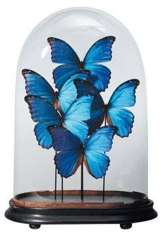 Morpho didius in antique glass dome.     We can put every butterfly you choose in a glass dome. www.demuseumwinkel.com