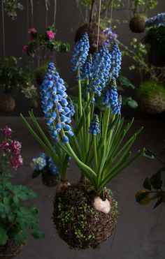 Muscari string garden by String Garden. Photograph: Anne Dokter  (And I think some of my orchids will end up like this)
