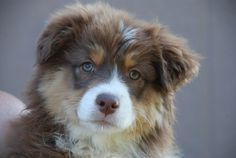 Australian Shepherd Red Tri. Oh my word… I want to breed my Merle with a red and get a pup like this!!