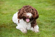 Spanish Water Dog Best Hunting Dogs