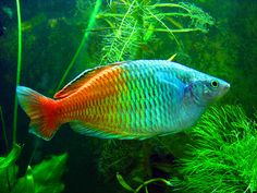 "Melanotaenia boesemani - (Boeseman's / Bosemani Rainbowfish) - max size under 5"", readily available at major pet stores, peaceful"