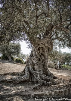 The old olive tree.olive trees are so gnary and wickedly beautiful Unique Trees, Colorful Trees, Cherry Blossom Tree, Blossom Trees, Twisted Tree, Old Trees, Tree Roots, Tree Illustration, Tree Photography