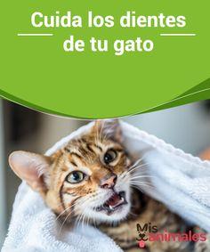 Cuida los #dientes de tu #gato  Mucho se ha #escuchado sobre el cuidado de los dientes de los perros. Sin embargo, muy poco hemos oído sobre cómo limpiar los dientes de los gatos. ¿Será que no lo necesitan? Muchos podrían #pensarlo, ya que los mininos se han #ganado la fama de ser limpios por naturaleza.