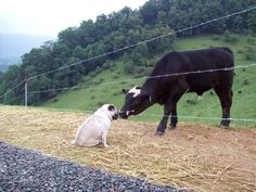 pug kisses cow...this is the absolute sweetest thing I have ever seen.