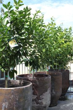 The lemon trees getting some sun on the terrace at our Redfern store