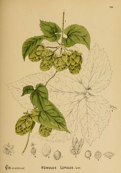 humulus lupulus - high resolution image from old book.Size in pixels: Cilantro Plant, Chives Plant, Botanical Illustration, Botanical Prints, Hops Vine, Hops Plant, Growing Raspberries, Mint Plants, Growing Herbs