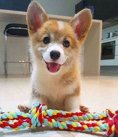 Corgis are the best!!