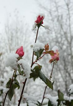 There are still roses... roses in the snow!