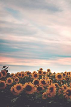 Sunflower fields at sunset