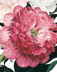 Pink Peony | Archivist Gallery