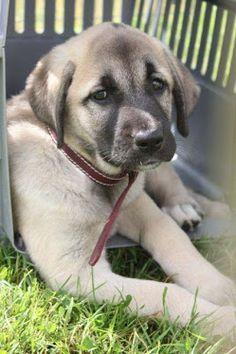 Kangal Dog Puppy Blog Big Mountain, Mountain Dogs, Kangal Dog, Animals Information, Anatolian Shepherd, Group Of Dogs, Shepherd Dogs, Livestock, Best Dogs