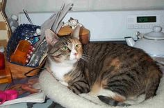 A http://drandreahayeck.com repin. A wonderful dentist in Linden serving many Cranford residentts.    Petfinder  Adoptable | Cat | Dilute Calico | Cranford, NJ | Candy