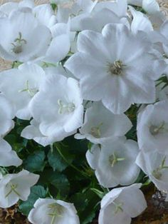 """Campanula Carpathian White: Short 12"""" / Plant 10"""" apart. Blooms Early Summer to Fall. Full Sun to Mostly Shady. Normal/Clay Soil. OK in containers-see overwintering FAQ, Edgers, Blooms 4wks+. Evergreen in the South. Remove about a third of the plant after blooming to freshen the foliage. Can be divided every 3-4 years in spring or fall."""