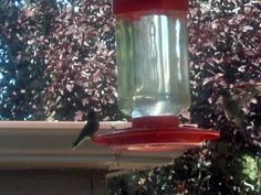 DIY Hummingbird food, maybe ours will like this better than the store-bought stuff