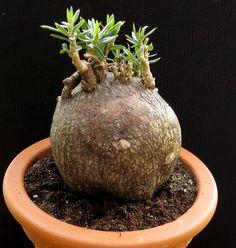 Pachypodium bispinosum,Caudex,Ariocarpus,Bulb