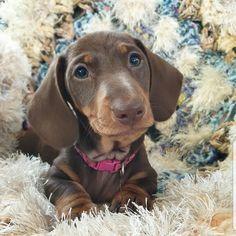 Teacup Dachshund, Dapple Dachshund Puppy, Dachshund Puppies For Sale, Standard Dachshund, Black And Tan Dachshund, Miniatures, Dogs, Blue, Animals