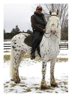 """Mystic Warrior"" at 5 years old he is now leopard appaloosa colored, mostly white. A striking stallion and apparently talented as well! his colt picture is listed below or next picture. Look how he ""grayed out"",  His Facebook Page: https://www.facebook.com/media/set/?set=a.189744374401512.42650.107956962580254#!/media/set/?set=a.189744374401512.42650.107956962580254"