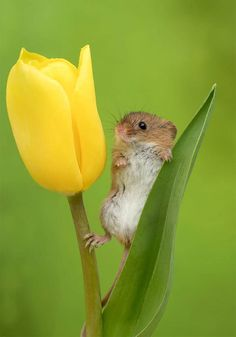 Photographer Captures Tiny Harvest Mice Amongst The Tulips And The Pictures Will Make Your Day