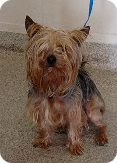 Troy, OH - Yorkie, Yorkshire Terrier. Meet Willie, a dog for adoption. http://www.adoptapet.com/pet/17820274-troy-ohio-yorkie-yorkshire-terrier