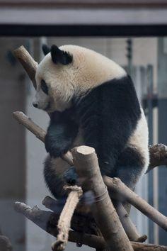 今日のパンダ(2416日目) | 毎日パンダ Animals Beautiful, Cute Animals, Panda Bears, Sloth, Humor, Pets, Funny, Bears, Pandas