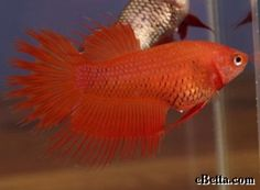 Here is a very unique fish, this is a female crowntail (CTF). She is orange and has double rays (DR).