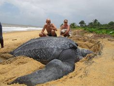 giant sea turtle on Surinam beach...such a shame locals eats the eggs, now these days the giant turtle is protected species