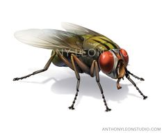 fly or house fly illustration