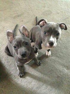 Pit bull puppies :)