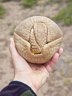 """""""The Three-banded armadillo curls into a ball when threatened, using its armor for protection. Armadillo, Nature Animals, Animals And Pets, Wild Animals, Beautiful Creatures, Animals Beautiful, Satisfying Photos, Unusual Animals, Interesting Animals"""