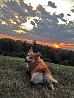 Phoebe (age 11) enjoys a beautiful sunset. She's a happy Corgi!