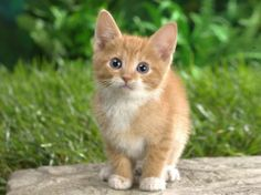 Zlaté mačiatko