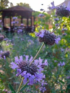 Botanical name: Salvia clevelandii  Common names: Cleveland sage, California blue sage. zones: 8 to 11.   Light water, full sun, 3 to 5 feet tall and 5 to 8 feet wide. Attracts hummingbirds, butterflies and bees; deer resistant; fragrant flowers and foliage; drought tolerant. Blooms spring through summer. plant: Spring or fall