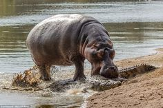Tussle: The amateur photographer who took the pictures says the hippo must have felt that ...
