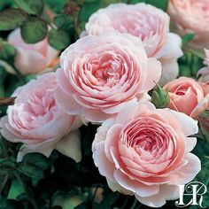 Queen Of Sweden ® : Queen Of Sweden Rose - David Austin - Moderately Fragrant (Repeat bloomer - perfect for cutting gardens) Queen Of Sweden Rose, Rose Queen, Queen Queen, Pretty Roses, Beautiful Roses, Beautiful Gardens, David Austin Rosen, Rose Garden Design, Types Of Roses