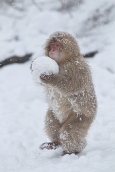 The Japanese macaque Macaca fuscata), is a terrestrial Old World monkey species native to Japan. They are also sometimes known as the snow monkey because they live in areas where snow covers the ground for months each year — no other non-human primate is more northern-living, nor lives in a colder climate macaque.