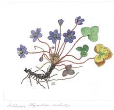 Hepatica nobilis - Illustration by dagny Tande Lid