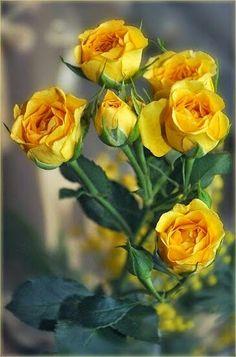 Rose amarillas
