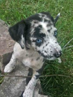 I Love My Catahoula Leopard Dog Dog Bone Magnet 2x7 inch Decal for Car or Fridge