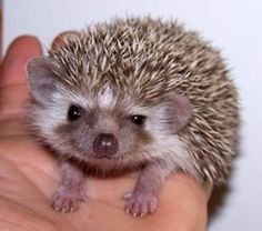 Hedgehog: Okay, okay. I know I'm precious and really cute, but what about my mind?  More to me than meets the eye, you know...