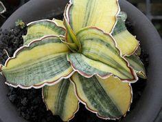 カクタスニシ Cactus and Succulent