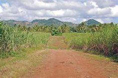 sugar cane field #agriculture #farming