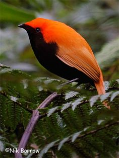 pássaro encontrado na Indonésia