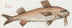 Fish. 2nd quarter of the 16th century-3rd quarter of the 16th century Manuel Philes, De animalium proprietate British Library Burney MS 97 f45r